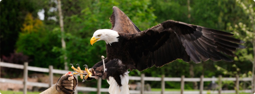 Pheonix Falconry | Things to Do from Alexander House Auchterarder